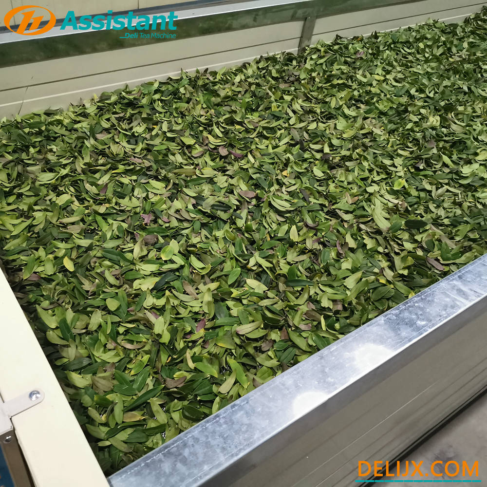 5 Meters Length Black Tea Withering Processing Machine DL-6CWD-580
